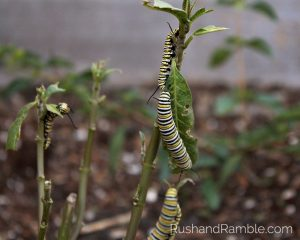Milkweed, Monarchs and Masterpieces: The Tale of a Preschooler and His Butterfly Garden