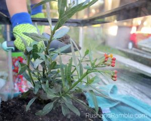 Fish Tank Milkweed   Milkweed, Monarchs and Masterpieces: The Tale of a Preschooler and His Butterfly Garden