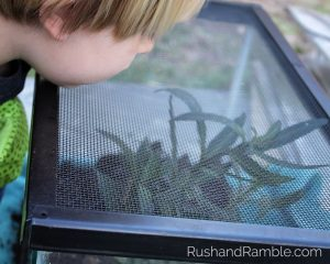 Fish Tank Caterpillars   Milkweed, Monarchs and Masterpieces: The Tale of a Preschooler and His Butterfly Garden