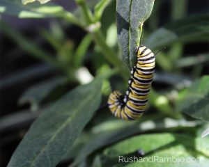 Monarch Caterpillar   Milkweed, Monarchs and Masterpieces: The Tale of a Preschooler and His Butterfly Garden